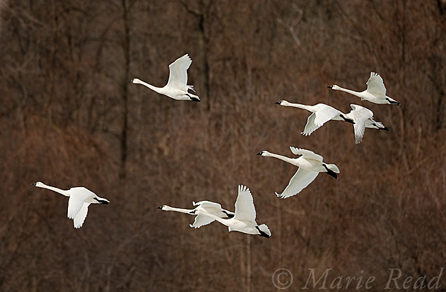 Tundra Swans (Cygnus columbianus) flock in flight, late winter, New York, USA