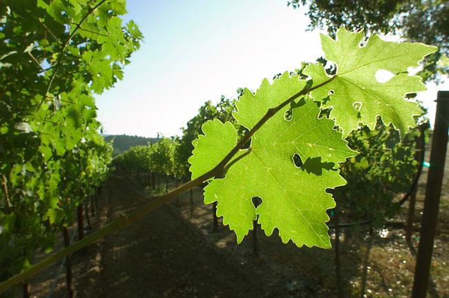 cabernet leaf