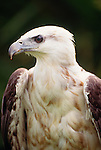 White-bellied sea eagle, Australia