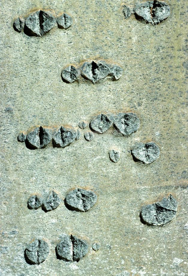 Amerikaanse ratelpopulier (Populus tremuloides) schors