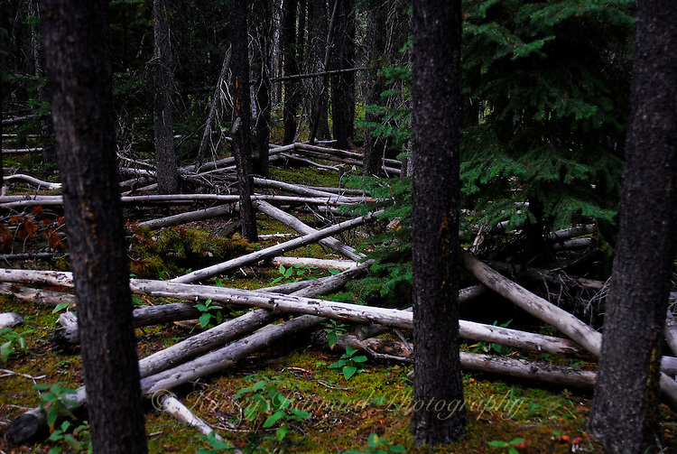 Like pickup sticks blow down logs crisscross one another along the Bow River in Banff National Park