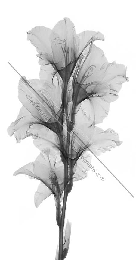 X-ray of a gladiola flower.  This low power x-ray shows all the structure of the plants flower.