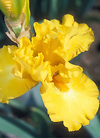 Bearded Iris Gold Galore yellow iris