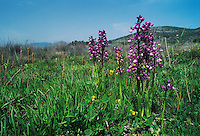Anatolian Orchid, Orchis anatolica, blooming in habitat, Samos, Greek Island, Greece, April 1994