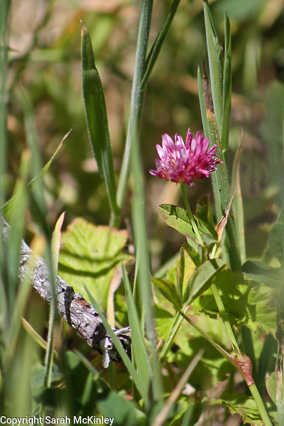 A single red clover blossom growing in the grass at MacKerricher State Park near Fort Bragg on the Pacific Coast of Mendocino County in Northern California.
