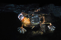 platypus or duck-billed platypus, Ornithorhynchus anatinus, endemic species to eastern Australia and Tasmania