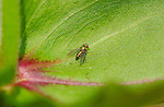 Long-legged Fly, Dolichopodidae, Southern California