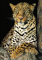 654309081a a captive wildlife rescue african leopard panthera pardus poses in its enclosure at a wildlife rescue facility - species is native to sub-saharan africa and is endangered in the wild