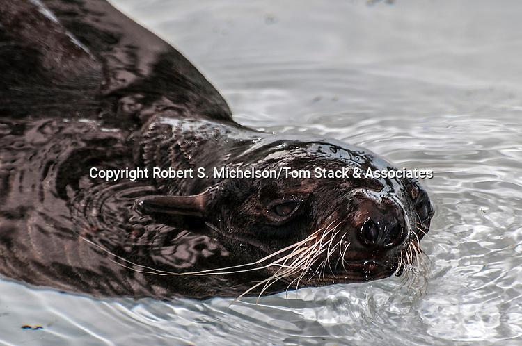 northern fur seal swimming towards camera at surface