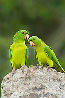 566700043 a wild pair of green parakeets aratinga holochlora perch on a tree stump on los ebanos ranch in tamaulipas state mexico