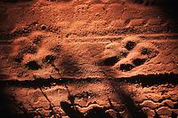 Bengal Tiger (Panthera tigris tigris), Paw mark in road, Ranthambore National Park,India