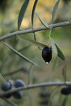 Israel, Shephelah, a drop of Olive oil in Bet Gemel