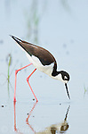 Black-necked Stilt (Himantopus mexicanus), female foraging in wetland, Bear River Migratory Bird Refuge, Utah, USA