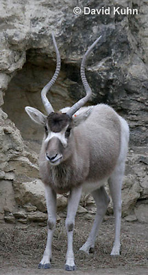 0906-0804  Addax, Addax nasomaculatus © David Kuhn/Dwight Kuhn Photography.