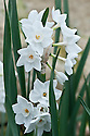 Paper white Narcissus papyraceus subsp. panizzianus, glasshouse, early March.