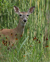 Doe with Mexican Hat Wildflowers foreground, and cattail reeds in back.. And she's trying to hide behind that blade of grass, to no avail :)