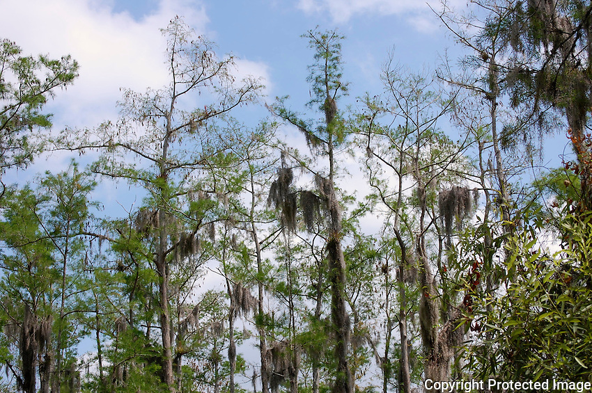 Blue sky illuminating and outlining moss laden cypress trees located in the Cypress Swamp at Arthur Marshall Loxahatchee preserve, Boynton Beach, Florida.