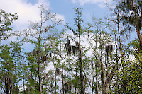 Blue sky illuminating and outlining moss laden cypress trees located in the Cypress Swamp at Arthur Marshall Loxahatchee preserve, Boynton Beach, Florida.
