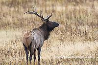 01980-03004 Elk (Cervus elaphaus) bull male, Yellowstone National Park, WY