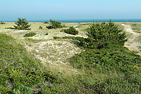 Coastal Plants & Trees Anchoring the Dunes, Nantucket Island, MA