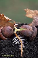 TT18-041a  Oak - acorn germinating, soil profile, roots - Quercus spp.