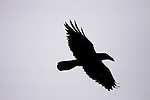 Common Raven (Corvus corax) flying, Point Reyes National Seashore, California