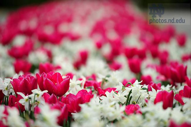May 9, 2011; Spring flowers..Photo by Matt Cashore/University of Notre Dame