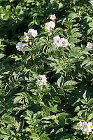 Kartoffel, Kartoffeln, Blüten, Anbau auf Feld, Acker, Kartoffelacker, Solanum tuberosum, Potato, Pomme de terre
