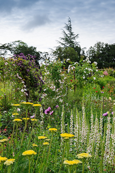 Achillea 'Cloth of Gold' and Verbascum chaixii