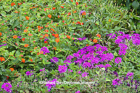 63821-19814 Flower garden with Homestead Purple Verbena (Verbena canadensis) & Red Spread Lantana (Lantana camara) Marion Co. IL