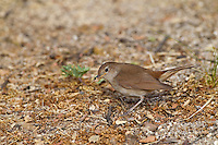 Nightingale Luscinia megarhynchos L 16-17cm. Secretive bird, best known for its powerful, musical song, sometimes sung at night. Silent birds are easily overlooked. Sexes are similar. Adult and juvenile have rich brown upperparts overall; tail and rump are warmer reddish chestnut than back and note hint of grey on face and sides of neck. Underparts are greyish white, suffused pale buffish brown on breast. Voice Song is rich and varied and includes fluty whistles and clicking sounds; typically the bird starts with a rich, whistling tu-tu-tu-tu. Status Local and declining summer visitor, favouring coppiced woodland and scrub.