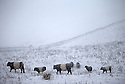 18/11/16<br /> <br /> Belted Galloway cattle and sheep brave the freezing conditions.<br /> <br /> Heavy snowfall turns the Peak District near Castleton into a winter wonderland.<br /> All Rights Reserved F Stop Press Ltd. (0)1773 550665   www.fstoppress.com