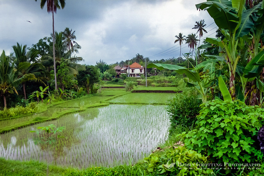 Bali, Gianyar, Ubud. Rice paddies close to Ubud.