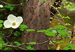 Pacific Dogwood Blossom, Cornus nuttallii, Mirror Lake Trail in Spring, Yosemite National Park