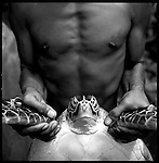 A turtle is held for inspection. Each turtle weighs between 5 and 30 kilos.