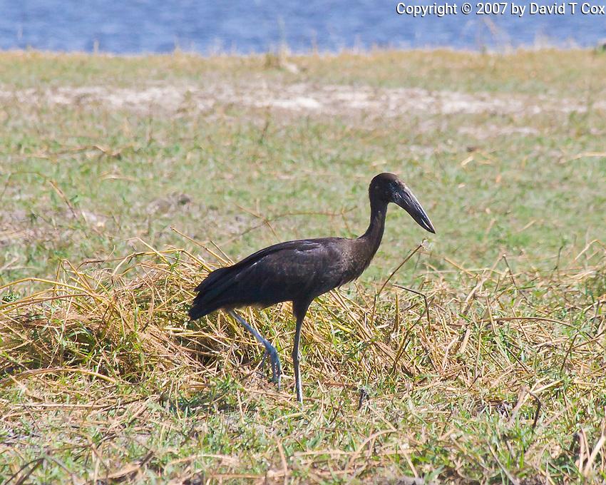 Open Billed Stork, Chobe NP, Botswana