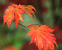 Vashon Island, WA<br /> Detail of branches with fall colored maples (Acer palmatum)  in a garden setting