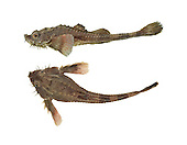 Pogge Agonus cataphractus Length to 15cm<br /> Distinctive, elongated fish with an &lsquo;armoured&rsquo; look about it. The broad, flattened head is armed with spines and barbels. It occurs in inshore waters, and is commonest in the W.