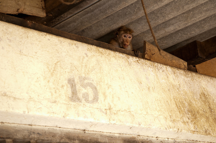 Toque Macaques leave their reserve home to scavenge in market areas for rubbish and water. This monkey is hiding above an unused shop. Polonnaruwa, Sri Lanka. IUCN Red List Classification: Endangered