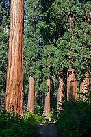 A woman walks through half a dozen giant sequoias, Sequoiadendron giganteum, in Sequoia Crest, CA.