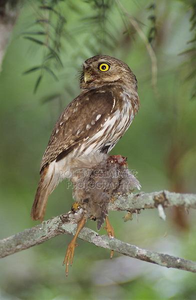 Ferruginous Pygmy-Owl, Glaucidium brasilianum, adult with bird prey, Willacy County, Rio Grande Valley, Texas, USA