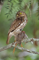 Ferruginous Pygmy-Owl, Glaucidium brasilianum, adult with bird prey, Willacy County, Rio Grande Valley, Texas, USA