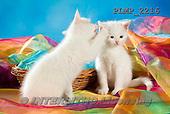Marek, ANIMALS, REALISTISCHE TIERE, ANIMALES REALISTICOS, cats, photos+++++,PLMP2216,#a#