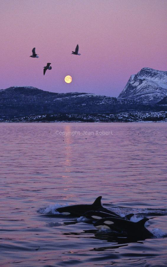 Orques. Tysfjord à 90 km au sud de Narvik. Norvège..Orcas. Killer Whale. Tysfjord, 90 km south of Narwik. Norway.