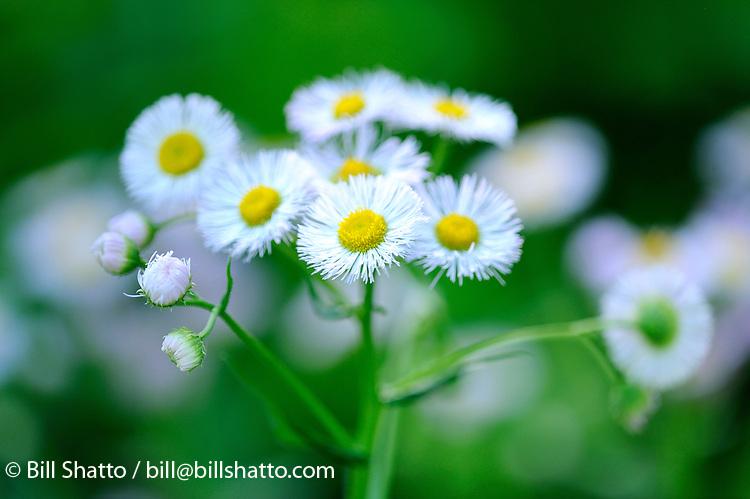 Wild daisies. Wild daisies.