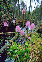 Swamp Pink, in bloom, Pine Barrens, New Jersey