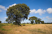 Oak Trees in Farmland Southrepps, Norfolk