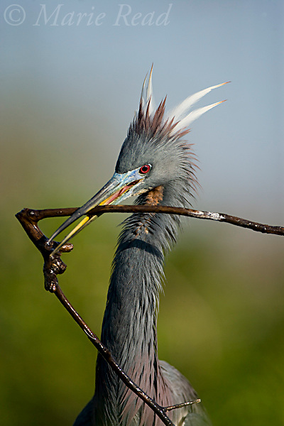 Tricolored Heron (Egretta tricolor) close-up carrying nest material, Orlando, Florida, USA