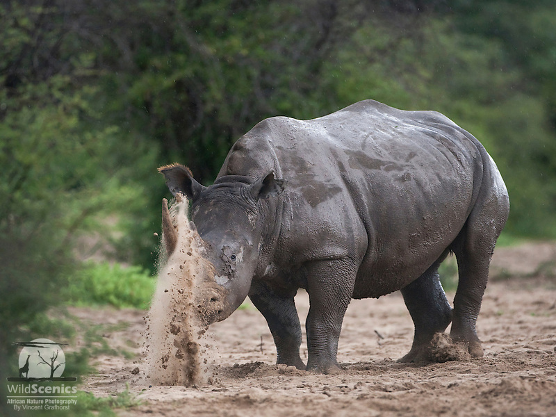 Angry female White Rhinoceros horning sand