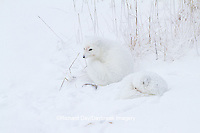 01863-01506 Arctic Foxes (Alopex lagopus) curled up along bank in snow Churchill Wildlife Management Area, Churchill, MB